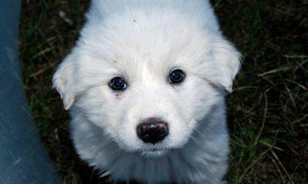 Pyr Pups