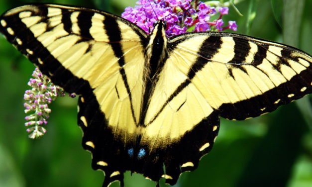 Eastern Tiger Swallowtail Butterfly – 26/365