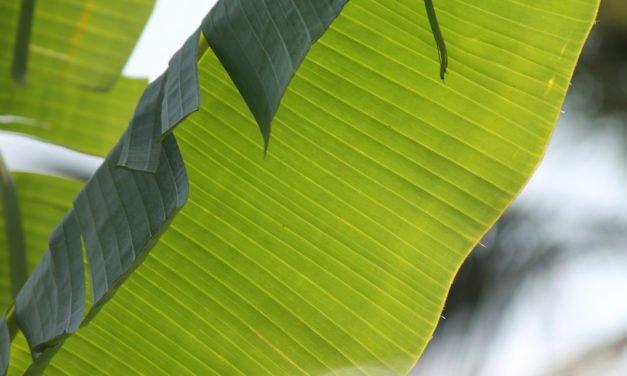 Banana Plants Planted – 29/365