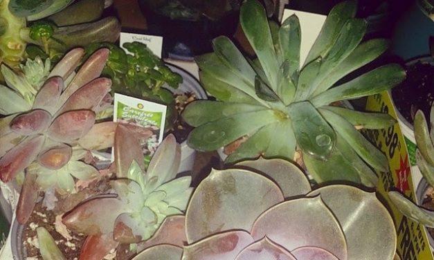 Garden Succulents