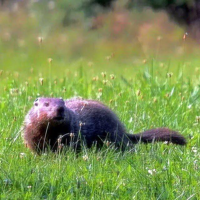 Groundhog Visitor