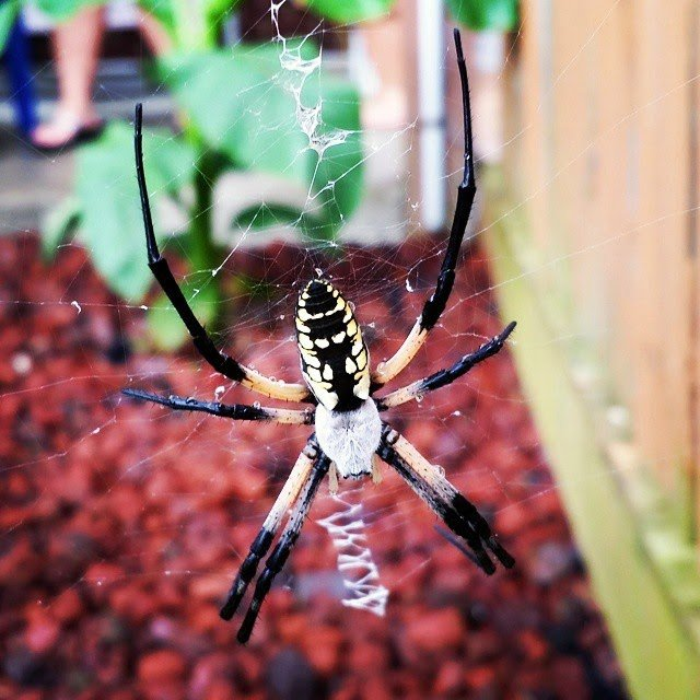 Awesome Orb Weaver