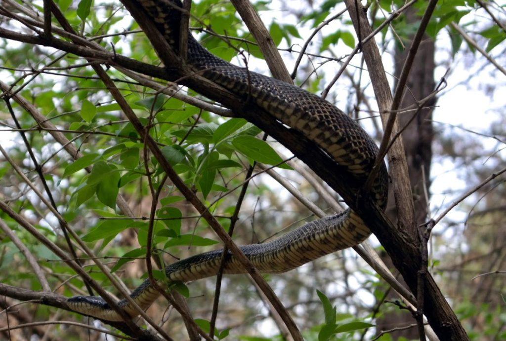 13-snake