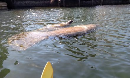 Kayaking with Manatees