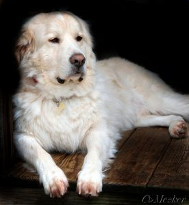Buddy the Great Pyrenees / Golden Retriever